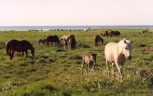 Pastureland in island Saaremaa. Foto: Ago Ruus