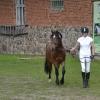 Noored eesti hobused Toris