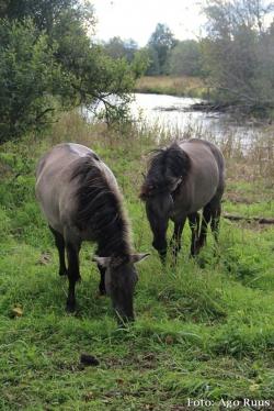 Uus hobusetõug Eestimaal