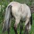Ulukvõik mära Aura (i Apollo). Foto: Ago Ruus