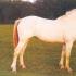 Helekollane, rahvakeeles albiino (cremello) - aeCcrCcr/AeCcrCcr