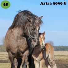 Astra on sündinud 2005. aastal Pärnumaal, i. Amlet e. Varia, kasvataja Rein Kose, omanik AlfaEkspert OÜ.  Astra on praeguste omanike kõige esimene puhtatõuline eesti hobune ning temast sai alguse huvi aretuse vastu. Nimelt ei olnud teda ostes teada, et ta tiine on ning kogenematusest ei osatud ka kahtlustada kuni päris tiinuse lõpuni. Ja nii sündiski ühel ilusal augustikuu päeval pisike varss. Peaasjalikult on ta läbi elu pidanud sugumära ametit. Samas ei saa mainimata jätta tema sobivust ka ratsutamiseks. Ta on kasutuses hobihobusena ning väga meeldiv matkakaaslane looduses just oma stabiilse hoiaku poolest. Märkimisväärse omadusena on korduvalt välja toodud tema vastupidavust ning mugavaid allüüre. Emana iseloomustatakse teda kui ülihoolitsevat ja varssa igati toetavat mära. Ta on tugeva, kuid inimese ja hobustega kergesti haakuva iseloomuga. Järglastelegi pärandab ta enesekindlat ja julget hoiakut ning parasjagu särtsakust, et spordiradadel ilma teha. Astra ja Ralli esimesed ühised järglased on asunud spordis rosette noppima nii kodumaa pinnal kui ka Soomes.   Foto: Lea Hänni erakogu